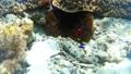 Anemonefish Pangorao 54108977