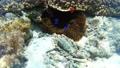 ภาพถ่ายใต้น้ำของปลาการ์ตูนดอกไม้ทะเล Pangorao 54133599