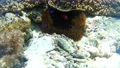 ภาพถ่ายใต้น้ำของปลาการ์ตูนดอกไม้ทะเล Pangorao 54133603