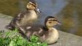 野鴨嬰孩小雞小雞 54135610