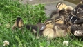 野鴨嬰孩小雞小雞hina 54135611