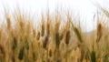 Fresh wild wind of Barley wheat field scene 54177138
