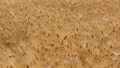Beautiful Scenery of Barley wheat field. 54177146