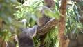 【考拉】考拉吃桉树叶 54179788