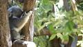 【考拉】考拉吃桉树叶 54179791
