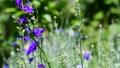 風に揺れるチドリソウ、撒きっぱなしで花畑、ミックスシード、光、家庭園芸、畑、花イメージ素材、スロー 54213042