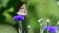 ヒメアカタテハ、風に揺れるヤグルマギクの吸蜜、昆虫イメージ素材、スローモーション撮影 54215911