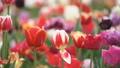 colorful tulips at close range 54274629