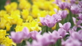 yellow tulips closeup 54274631