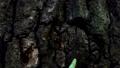 Big green caterpillar (Amphipyra pyramidea) 54287989