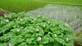 ジャガイモ畑 54299875