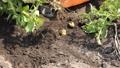 ジャガイモの収穫 54337496