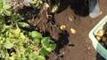 ジャガイモの収穫 54337497