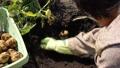 ジャガイモの収穫 54337498