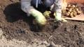 ジャガイモの収穫 54337499
