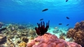 Tropical fish and coral reef Underwater shot Pangolao 54345140