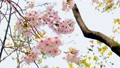 桜、さくら、サクラ、日本、春、卒業、満開、花びら、揺れる、散る、花冷え、花見、入学、出会い、別れ、花 54366038