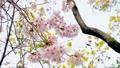 桜、さくら、サクラ、日本、春、卒業、満開、花びら、揺れる、散る、花冷え、花見、入学、出会い、別れ、花 54366039
