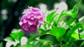 アジサイ、紫陽花、あじさい、雨、梅雨、つゆ、雫、水、傘、雨具、6月、花、緑、葉、ハイスピード、スーパ 54366045