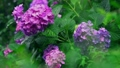 アジサイ、紫陽花、あじさい、雨、梅雨、つゆ、雫、水、傘、雨具、6月、花、緑、葉、ハイスピード、スーパ 54366046