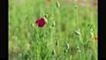 花罌粟盛開的視頻 54383008