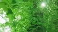 太陽の光が漏れる新緑の木 54454740