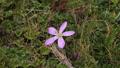Gentian flower in the breeze 54493800