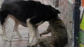 Dogs fighting in the alley 54505400