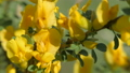 Yellow broom flowers. Flower cytisus lotoides 54550384