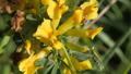Yellow broom flowers. Flower cytisus lotoides 54550385