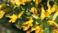 Yellow broom flowers. Flower cytisus lotoides 54550386