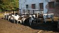 Calves feeding process on rural farm. Cows feeding on milk farm. Cows on dairy farm eating hay 54565752