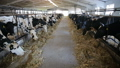 cows eating hay in cowshed on dairy farm. modern cowshed 54565758