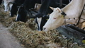 Close up for cows feeding in large cowshed at a farm. Footage. Cows cattle feeding process at a milk 54565759