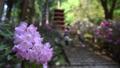 奈良県 女人高野 新緑の室生寺 五重の塔としゃくなげ 54567608