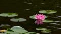 スイレンの花 54659018