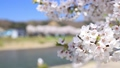 Kadodate Kushikiuchi River Embankment Cherry blossoms Image Blur Yes 54764309