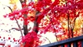 Gotokuji colored leaves and beckoning cat 54782642