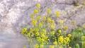 菜の花と舞い散る桜の花びら 54817563