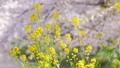 菜の花と舞い散る桜の花びら 54817564
