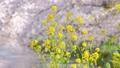 菜の花と舞い散る桜の花びら ズームイン 54817567