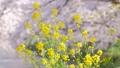 菜の花と舞い散る桜の花びら ズームバック 54817569
