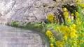川沿いの桜並木と菜の花 54817570