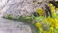 川沿いの桜並木と菜の花 左にスライド 54817571