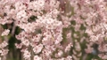 Cherry blossoms falling in the wind 54818624