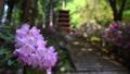 奈良県 女人高野 新緑の室生寺 五重の塔としゃくなげ 54925309