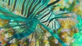 African Lionfish on Coral Reef 54930612