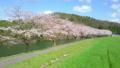 HD桜-16(ドローン) 54948735