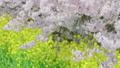 HD桜-14(午前) 54948737