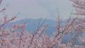 HD桜-13(午前) 54948959